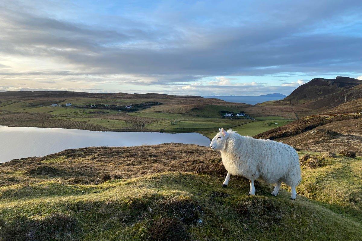 sheep by a loch