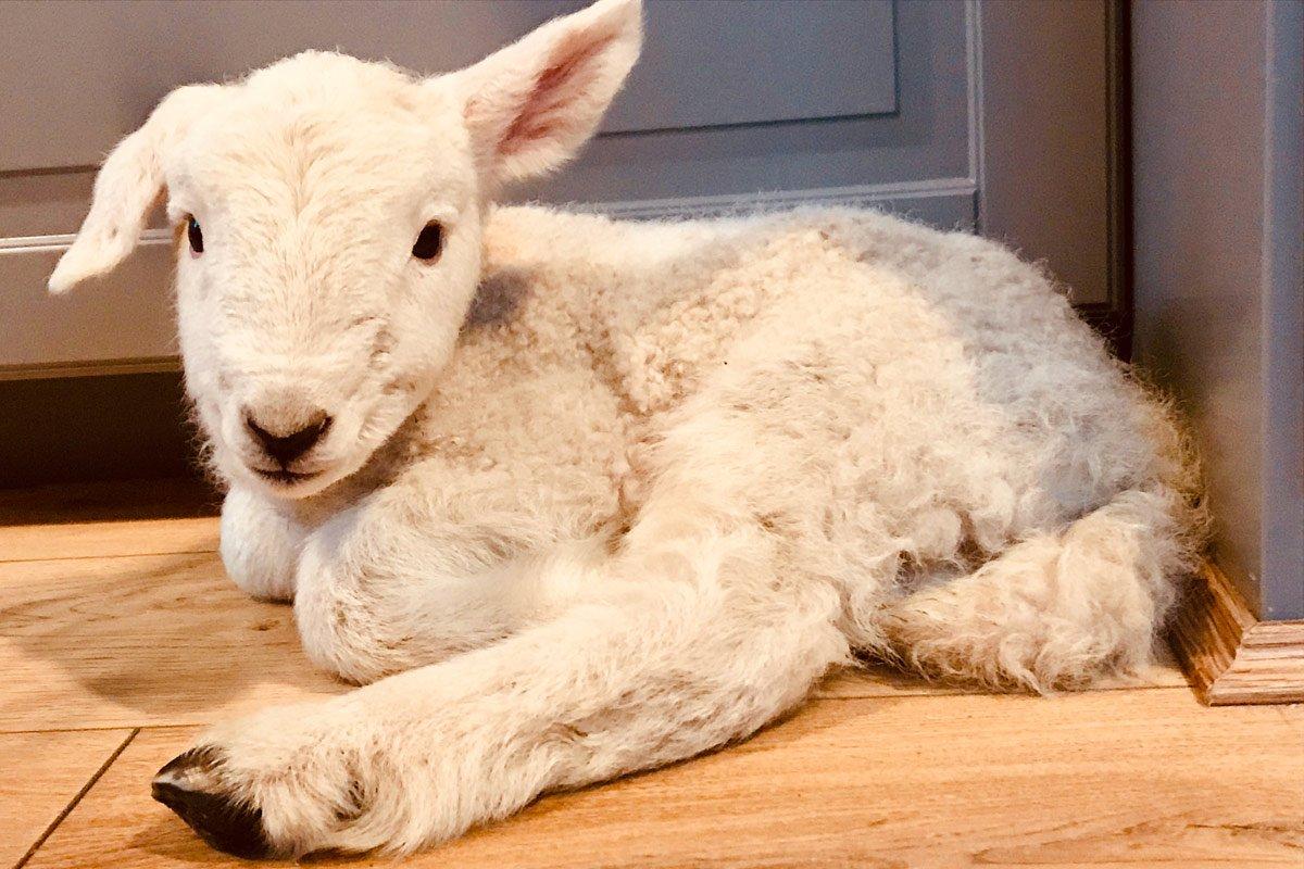 lamb with floppy ear