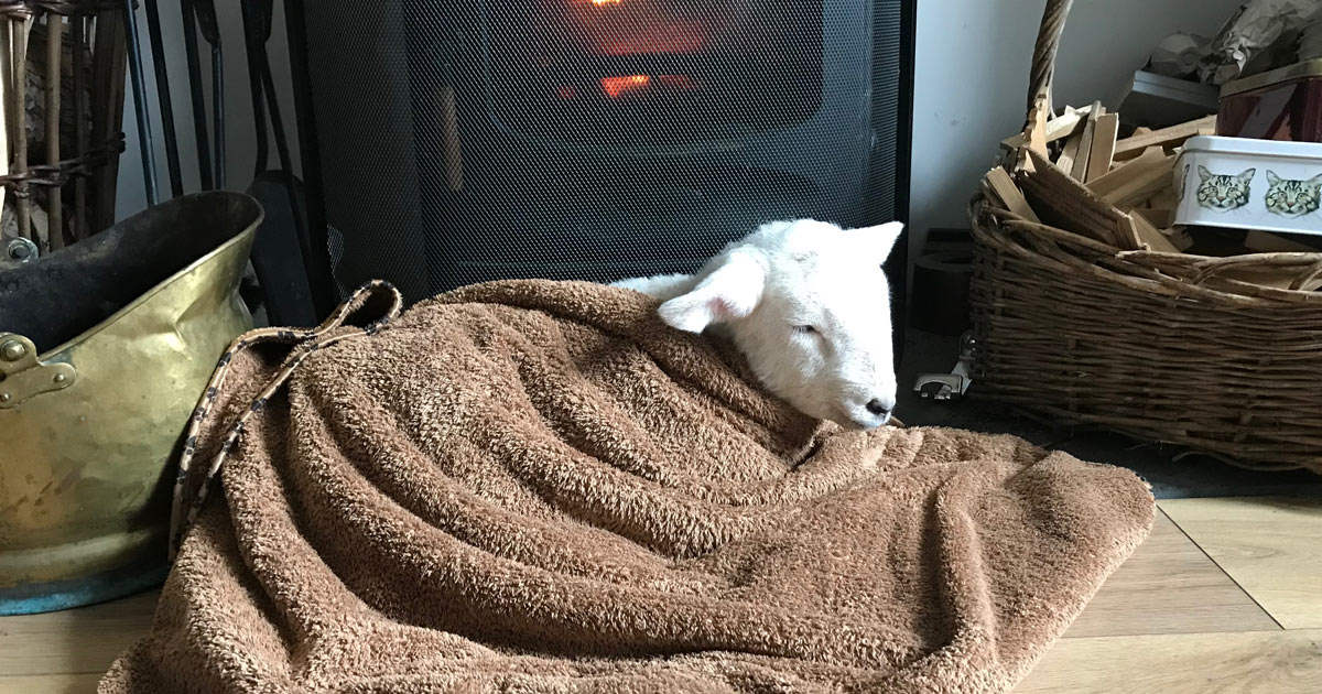 a lamb in a blanket in front of a fire