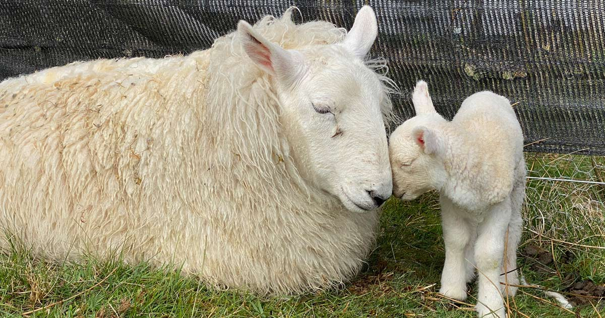 A ewe with a lamb