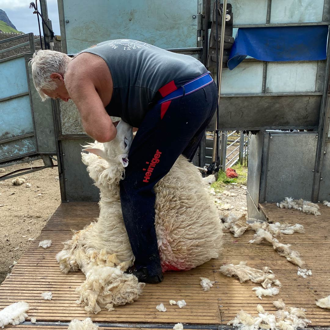 A sheep being sheared