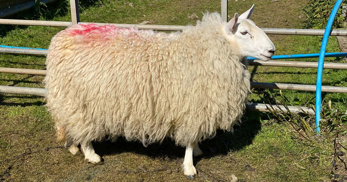 A sheep with red mark