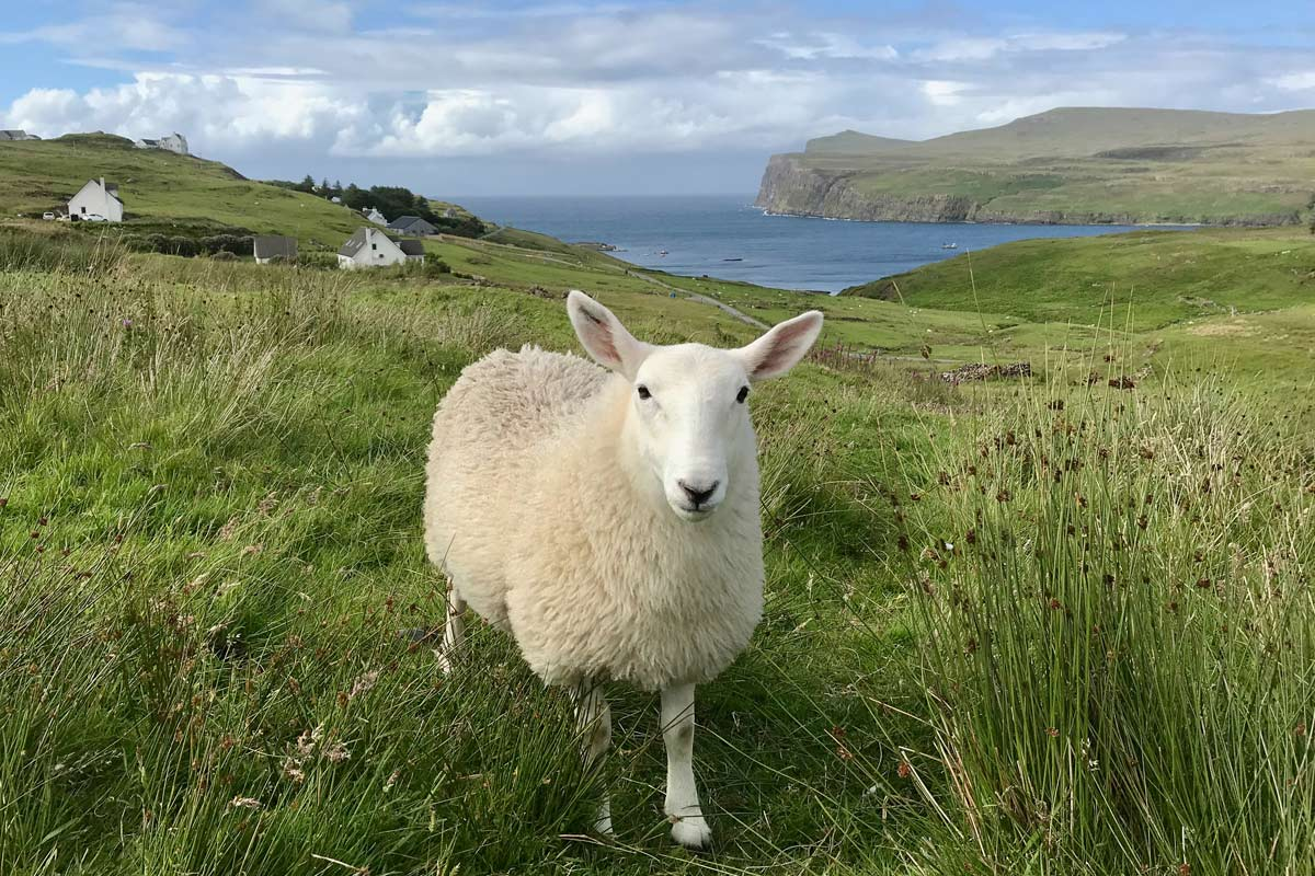 Sheep with cliffs and sea in background
