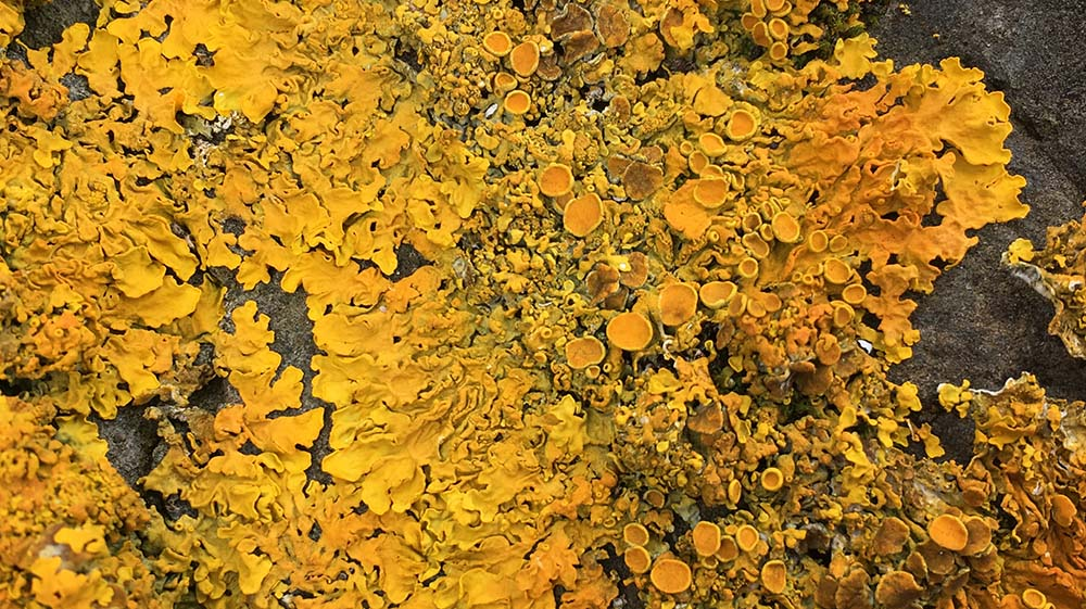 close up of yellow lichen
