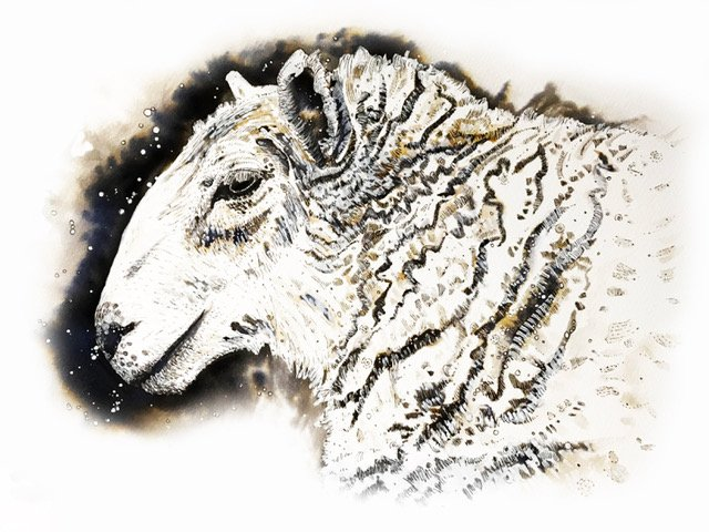 drawing of a sheep's head