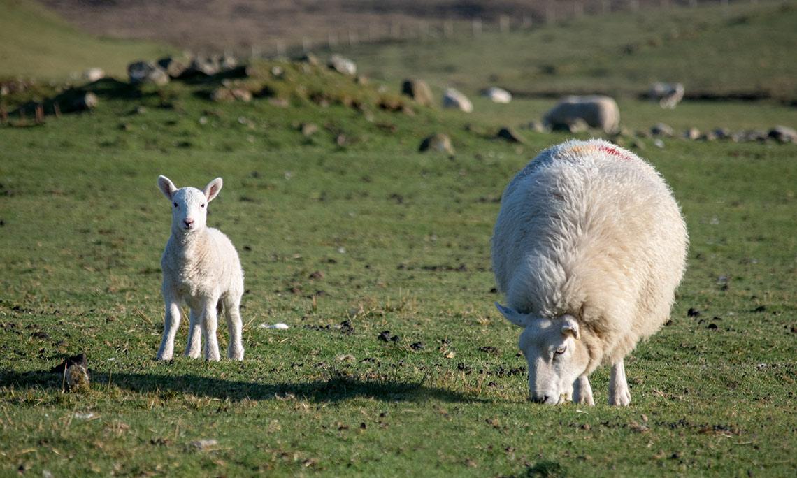 cheviot sheep on skye