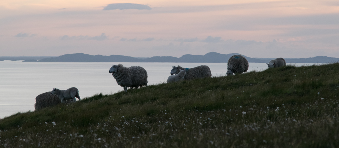 glendale sheep near neist point lighthouse