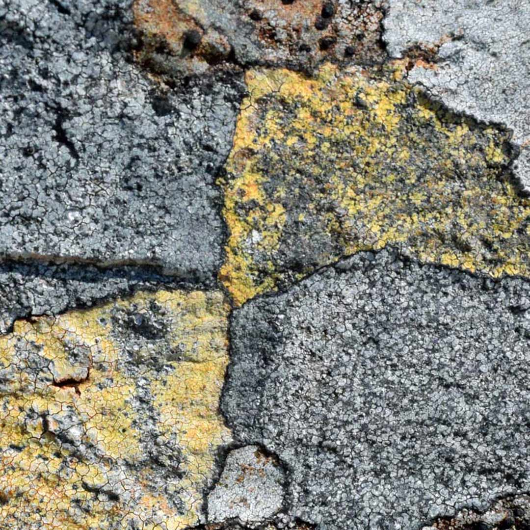 grey and yellow map lichen