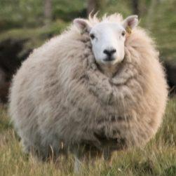 Skye Wool