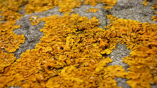 skye-weavers-yellow-lichen