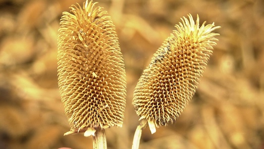 skyweavers teasel heads